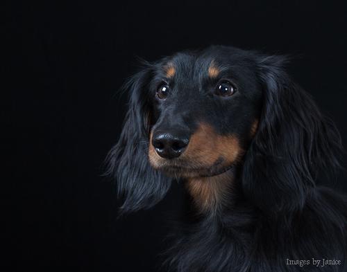 Handsome Dachshund