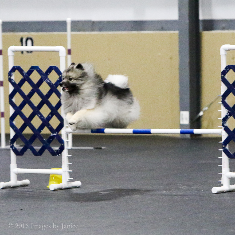 Agility dog photo - Keeshond - ©Images By Janice, LLC - Louisville, Kentucky