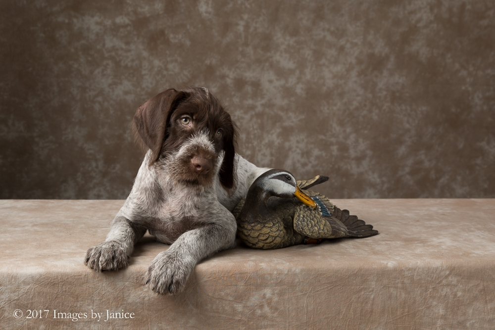 ImagesByJanice_German_Wirehaired_Pup_2017_-1