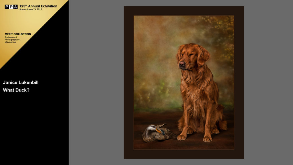 Golden Retriever portrait - Images By Janice - Louisville pet photographer