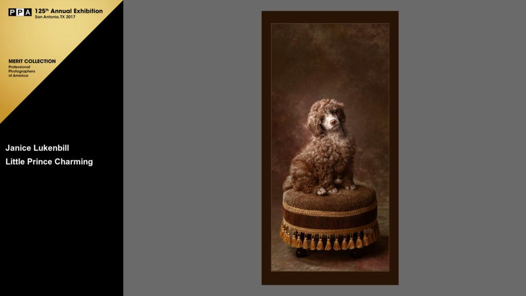 Poodle Puppy portrait - Images By Janice - Louisville pet photographer