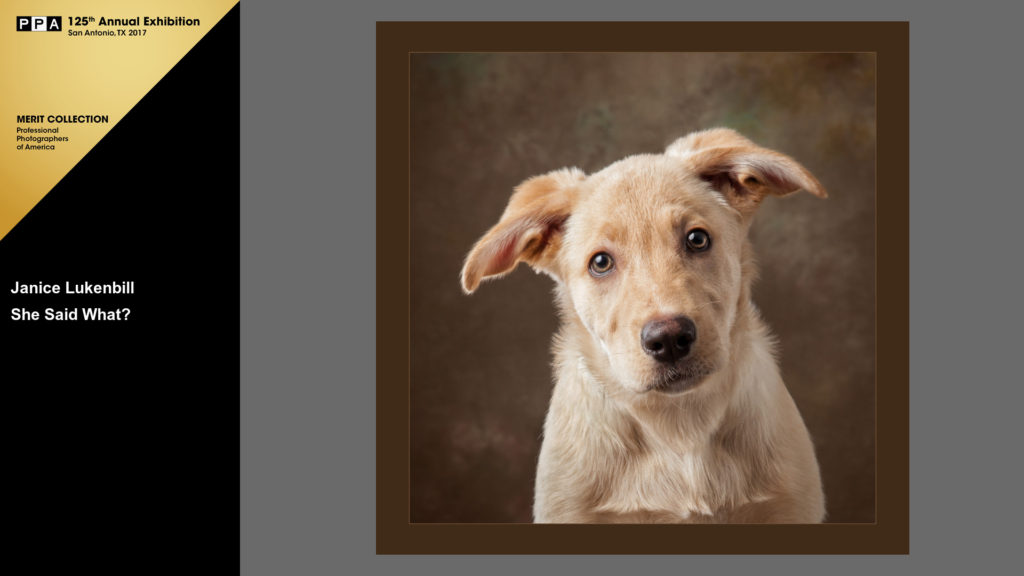 Sheprador puppy portrait - Images By Janice - Louisville pet photographer