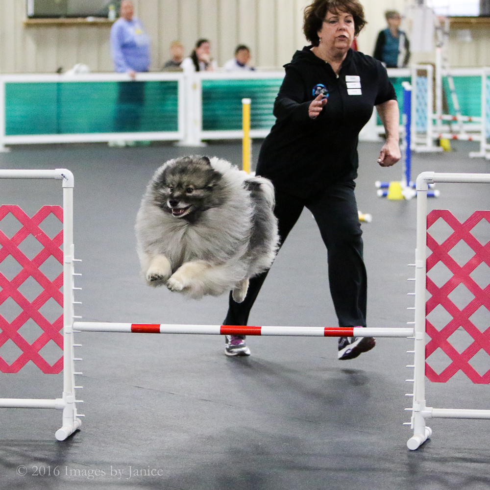 Agility dog photo from Queen City Dog Training Club - Keeshond - ©Images By Janice, LLC - Louisville, KY