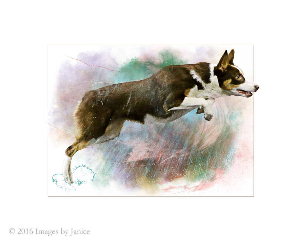 Jumping dog photos artwork - ©Images By Janice, LLC - Janice Lukenbill - Louisville, KY