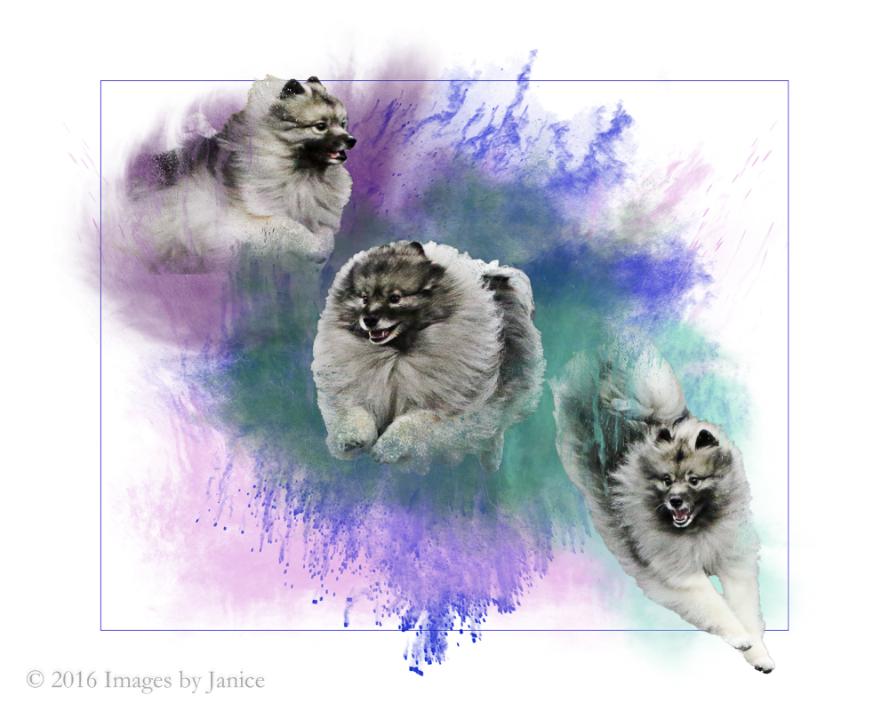 Keeshond dog photos composite - ©Images By Janice, LLC - Louisville, KY