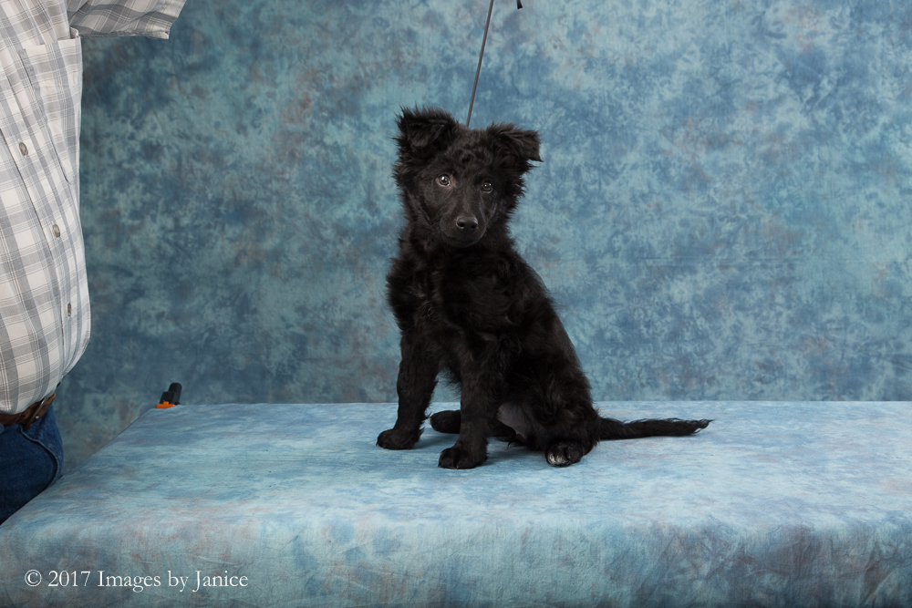 Mudi puppy portrait session