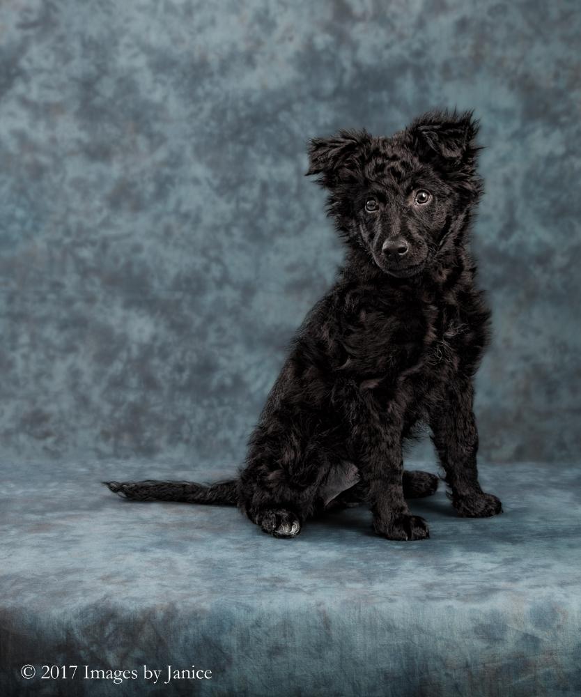 Mudi puppy version one