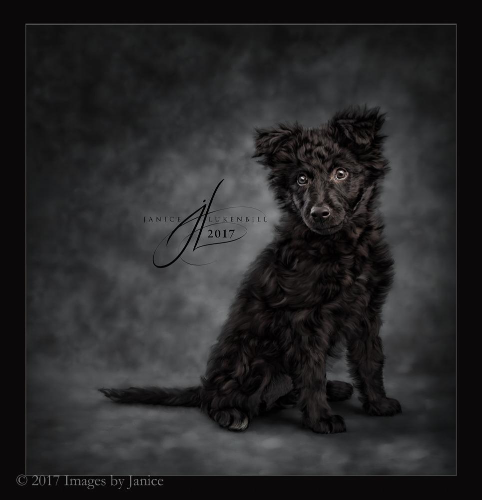 Painted Pet Portrait - Mudi puppy