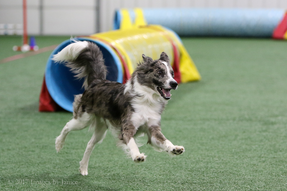 Border Collie mix and agility tunnel