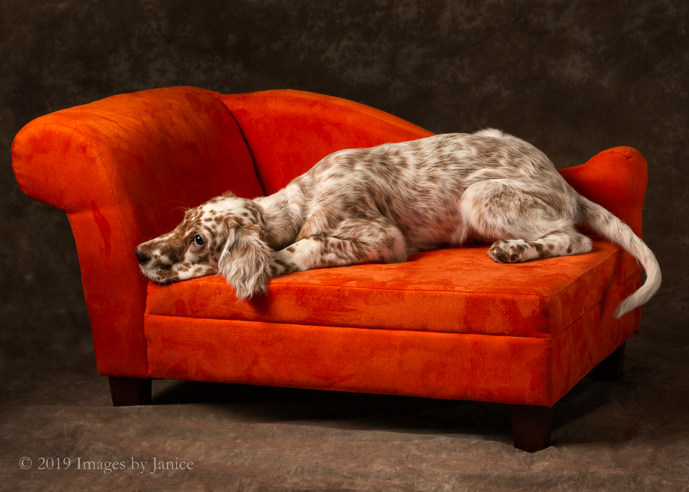 Tired English Setter Puppy