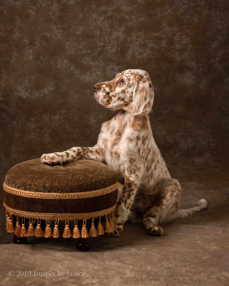 English Setter Puppy Portrait