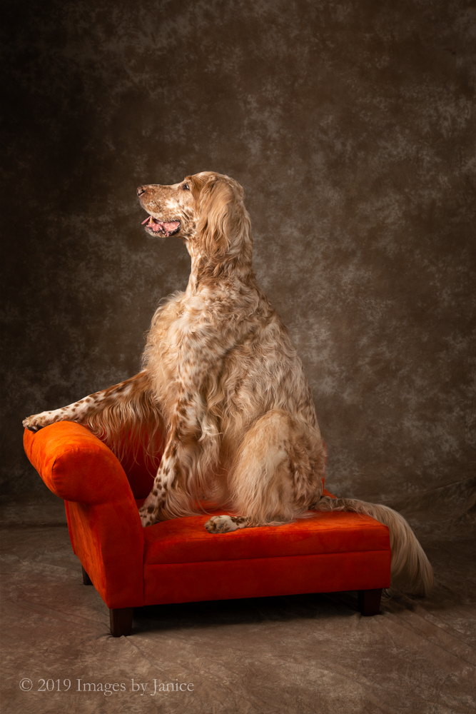 English Setter on a settee