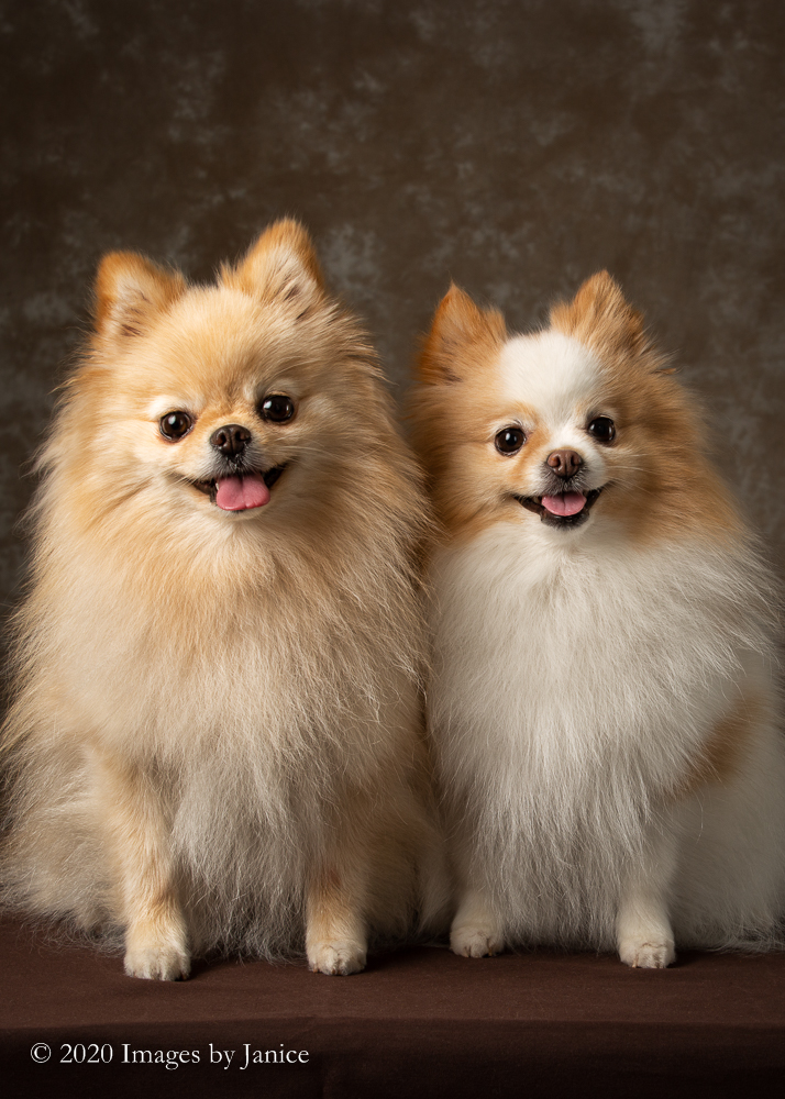Two Pomeranians share the spotlight during their portrait session with Images By Janice