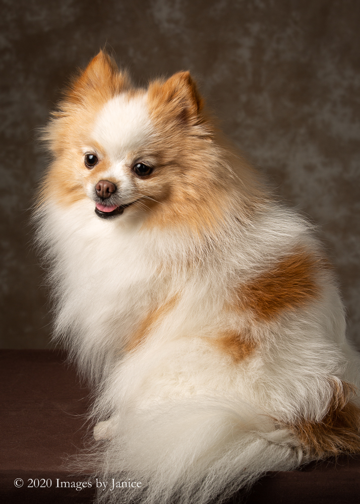 Temper the Pomeranian poses graciously for her pet portrait session