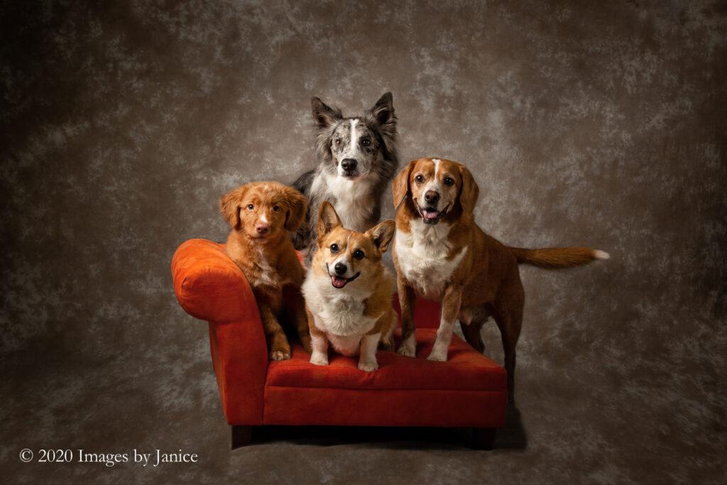 Four Dogs posing on an orange settee - Pet family portrait - Images By Janice Lukenbill