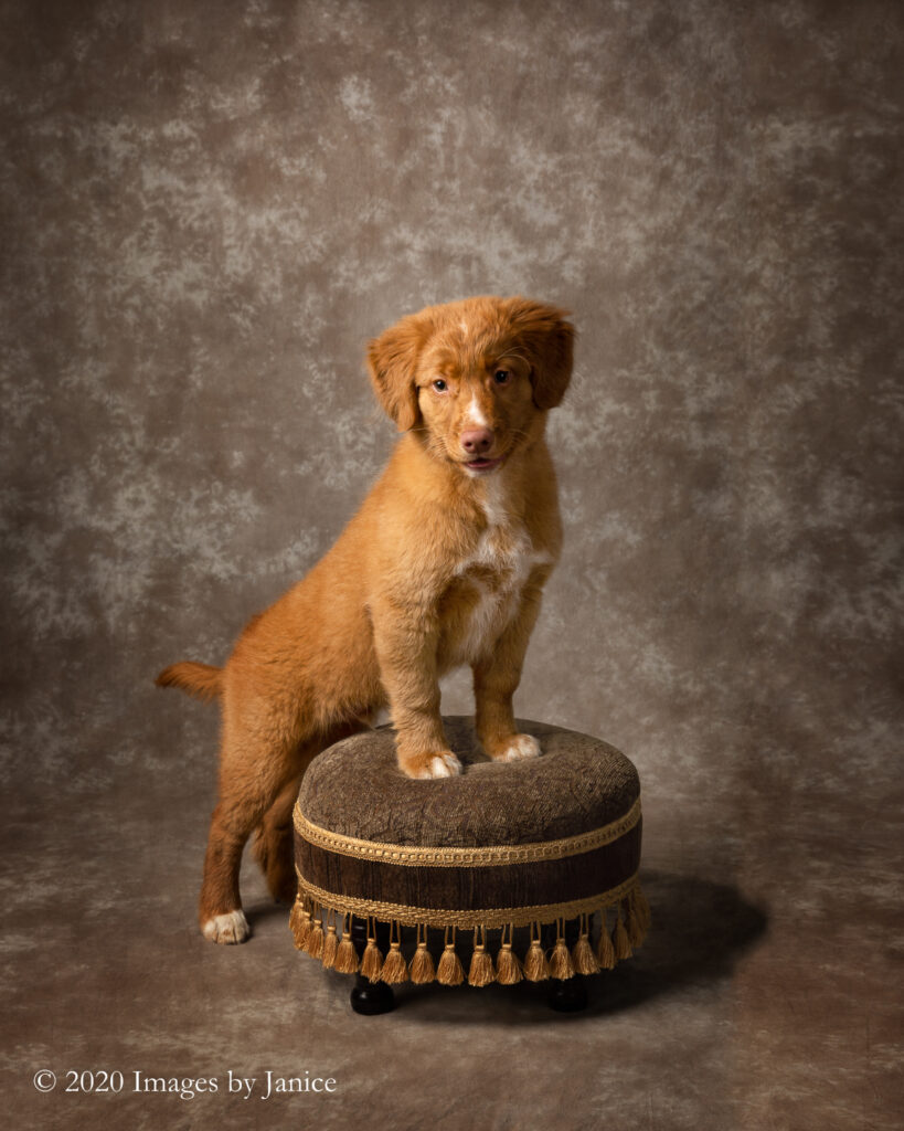 Nova Scotia Duck Tolling Retriever posing on a Footstool during his pet photography session - Images By Janice Lukenbill
