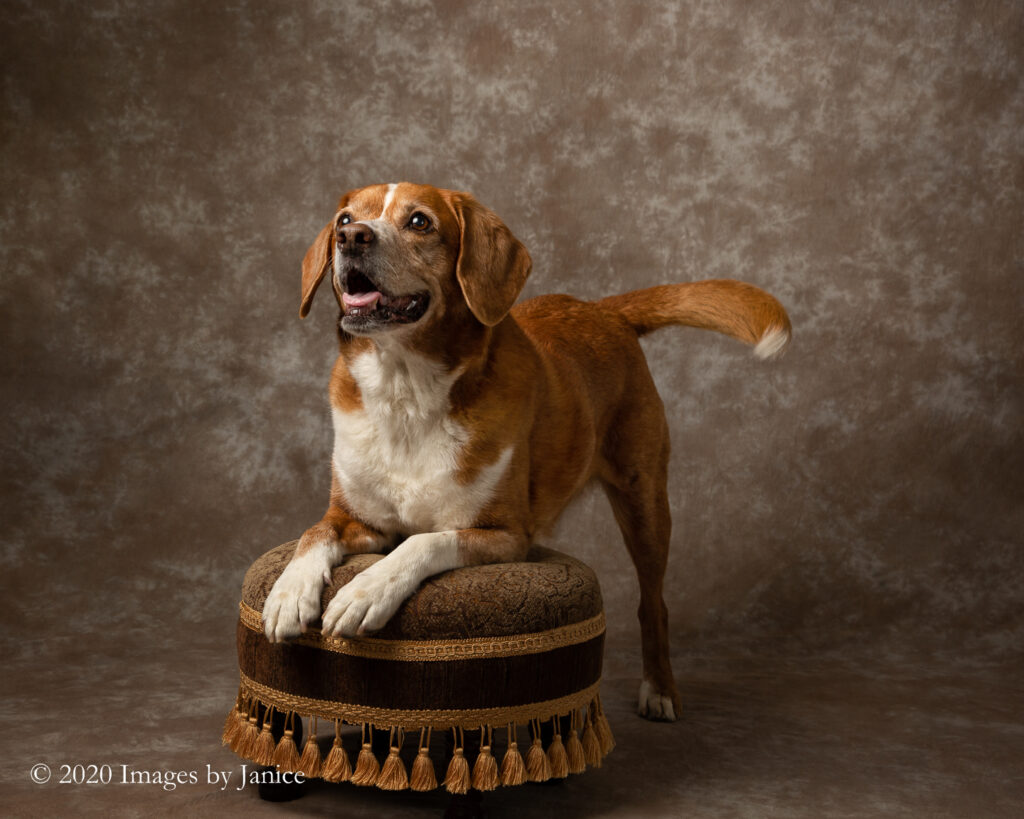 Red Beagle Play Bowing on Small Footstool for a pet photography session - Images By Janice Lukenbill