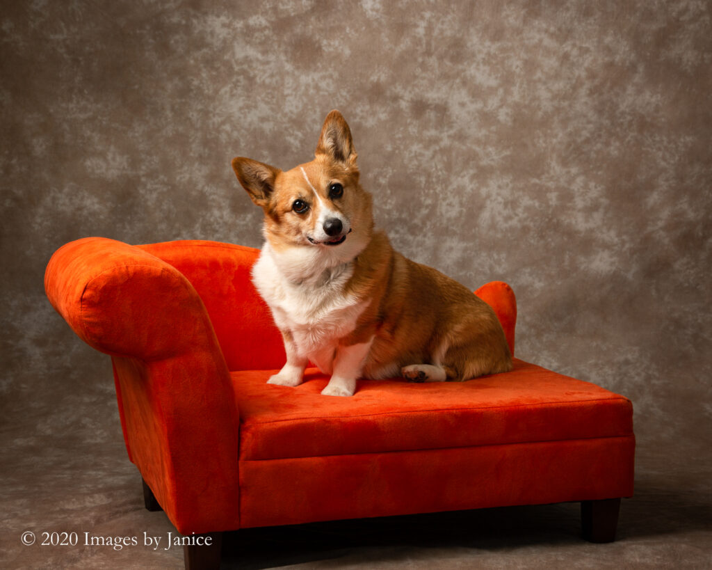 Pembroke Welsh Corgi sitting on orange settee during a pet photography session - Images By Janice Lukenbill